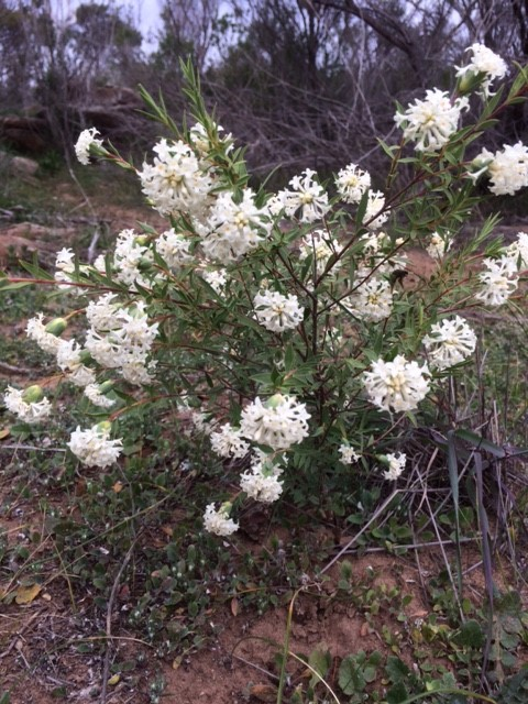 rockleigh Pimelea stricta